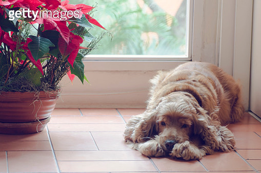 Old dog lying down resting next to a window - gettyimageskorea