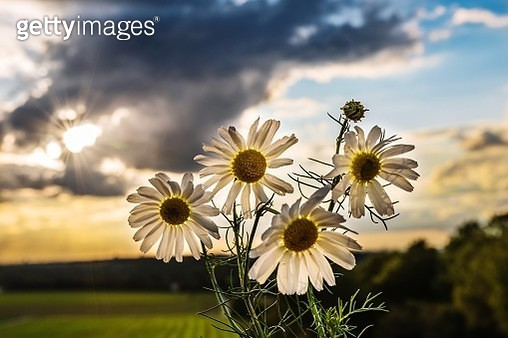 Close-Up Of Flowering Plant On Field Against Sky - gettyimageskorea