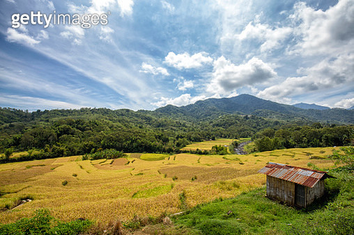 Wologai Rice Fields - gettyimageskorea