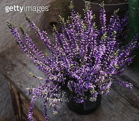 High Angle View Of Purple Flowering Plants - gettyimageskorea
