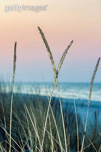 Grass on Sunset - gettyimageskorea