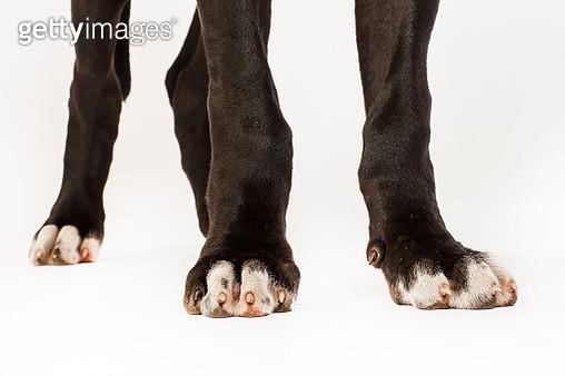 Great Dane Puppies - gettyimageskorea