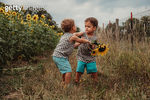 3 Year Old Toddler Fraternal Twins Stands in a Sunflower Field and Are Fighting / Tantrumming - gettyimageskorea