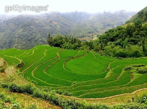 Rice Paddy Field - gettyimageskorea