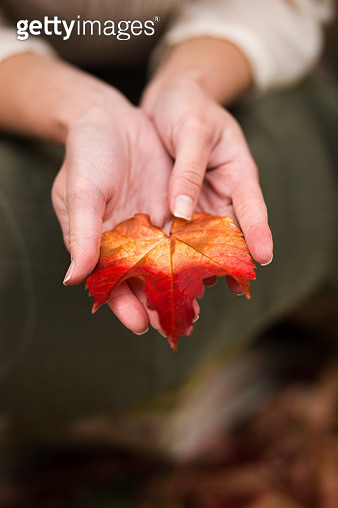 Cropped Hand Of Woman Holding Maple Leaf - gettyimageskorea