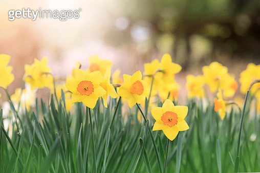 Yellow daffodils flower bed. - gettyimageskorea