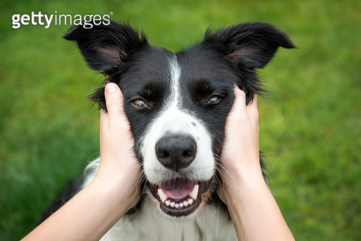 Close up of a Border Collie being held and looking direct into the camera. A loving expression on the dogs face. - gettyimageskorea