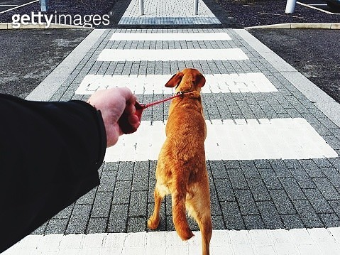 A Point Of View Of A Dog Pulling Hard On A Leash Across A Pedestrian Crossing On Street - gettyimageskorea