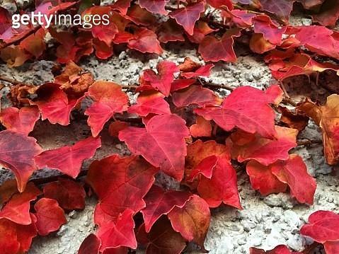 Full Frame Shot Of Autumn Leaves - gettyimageskorea