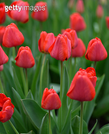 Close-Up Of Red Tulips - gettyimageskorea