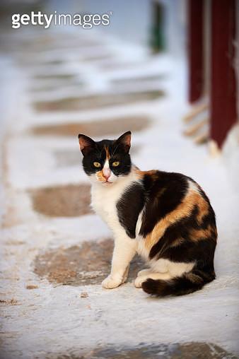 Cat sitting on cobblestone street, Mykonos, Cyclades, Greece - gettyimageskorea