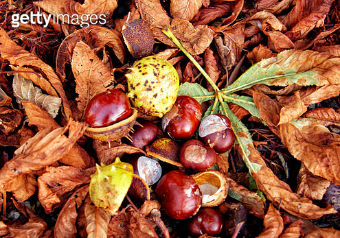 Directly Above Shot Of Chestnuts On Fallen Leaves - gettyimageskorea