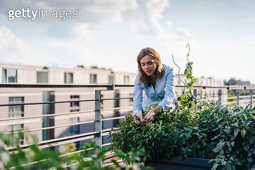 Businesswoman cultivating vegetables in his urban rooftop garden - gettyimageskorea
