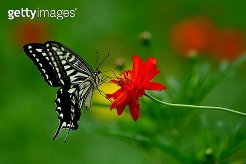 Orange/Yellow Cosmos and Butterfly - gettyimageskorea