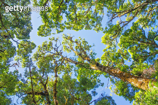 Oak Trees and Sky Viewed from Directly Below Perspective - gettyimageskorea