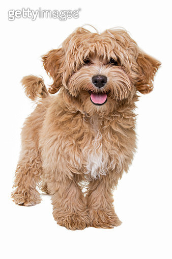 Gold coloured Cavalier King Charles Spaniel/Poodle mix puppy looking at the camera sitting in front of a white backdrop - gettyimageskorea