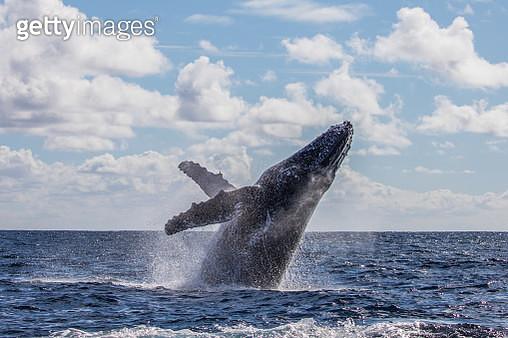Whale Breach - gettyimageskorea