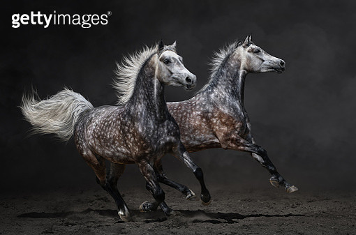 Two galloping grey Arabian horses. - gettyimageskorea