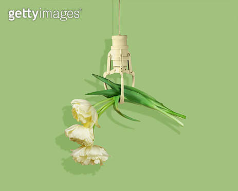 Three cream colored tulips in a claw machine claw against a green background with shadow. - gettyimageskorea