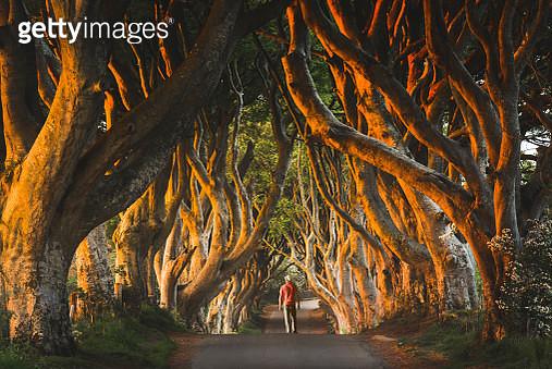 The Dark Hedges trees tunnel, County Antrim, Ulster region, Northern Ireland, United Kingdom. - gettyimageskorea