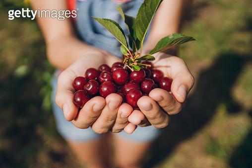 Handful of cherry fruit. - gettyimageskorea
