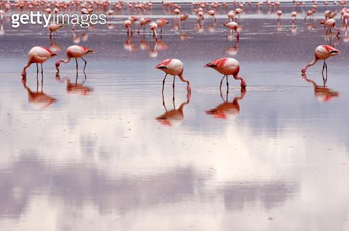 Flamingos - gettyimageskorea