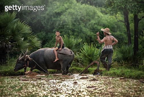 Farmer and boy ploughing field by African buffalo (Syncerus caffer) - gettyimageskorea