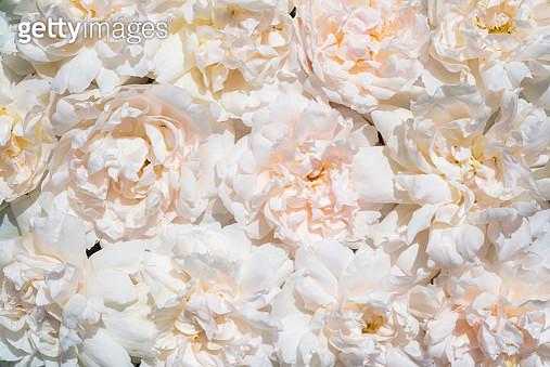 Soft summer roses - gettyimageskorea
