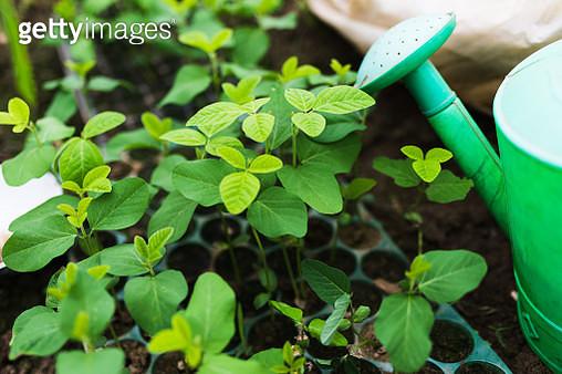 Soybean seedlings - gettyimageskorea