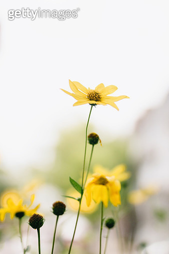 Yellow delicate flowers - gettyimageskorea