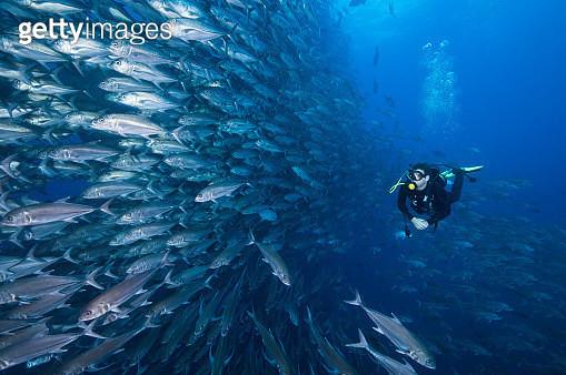 Scuba diver swimming past wall of Jacks, Cocos Island, Costa Rica - gettyimageskorea