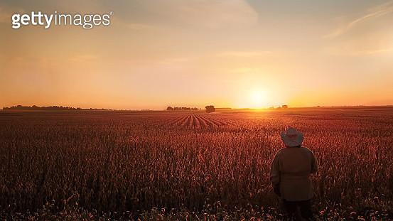 It is soon to be harvest time of these fields of soybeans. A woman watches the sunrise over the fields. Taken from slightly above with a drone - gettyimageskorea
