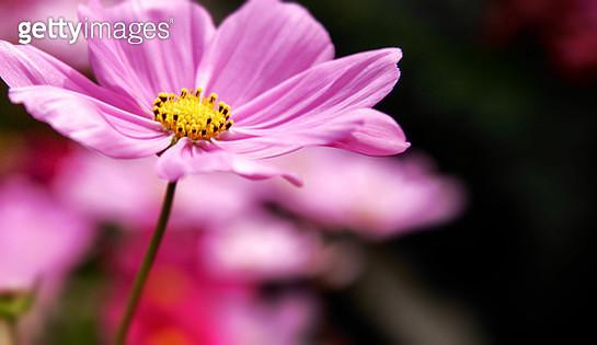 Close-up of cosmos flower at Wetland Park, Hong Kong - gettyimageskorea