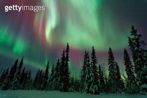 Spruce forest during Aurora Borealis at night, Lapland, Sweden - gettyimageskorea