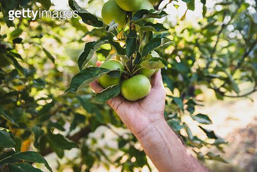 Senior Man Picking Up Apples in Orchard - gettyimageskorea