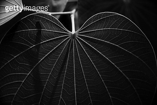 Veins of a leaf - gettyimageskorea