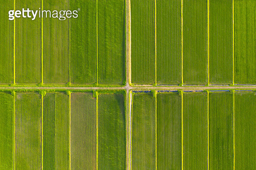 pattern of paddy rice field by drone - gettyimageskorea