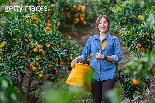 Young female farmer harvesting ripe oranges from trees - gettyimageskorea