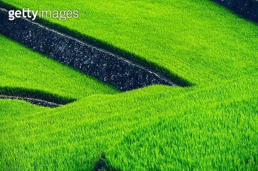 Terraced rice field - gettyimageskorea