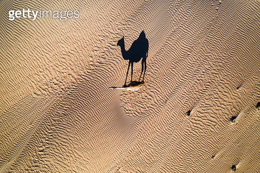 Single Camel photographed from above, United Arab Emirates - gettyimageskorea