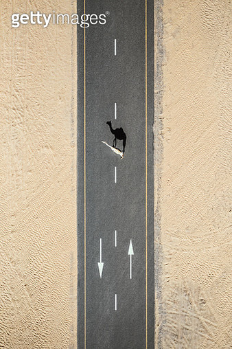 Camel crossing a road at sunset, United Arab Emirates - gettyimageskorea