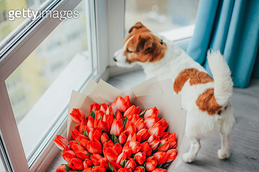 A cute dog next to a bouquet of pink tulips. - gettyimageskorea