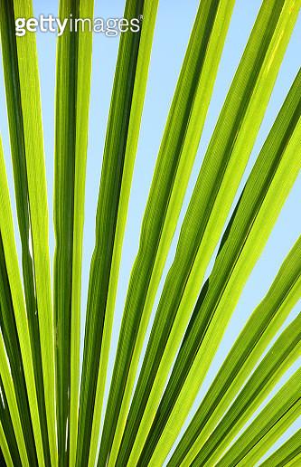 Trachycarpus palm leaf background - gettyimageskorea