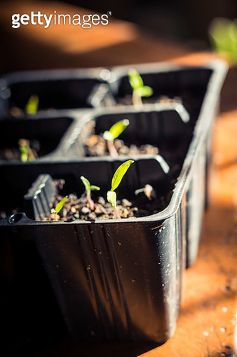 Close-Up Of Seedlings In Tray On Table - gettyimageskorea