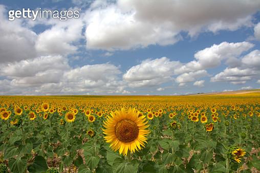 Sunflower fields - gettyimageskorea