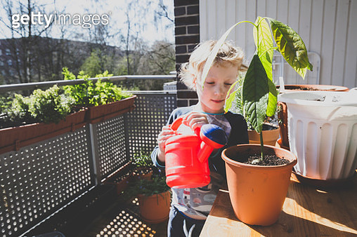 Cute girl watering avocado plant in balcony during sunny day - gettyimageskorea