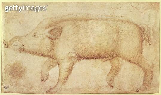 A Wild Boar (chalk & ink on vellum) - gettyimageskorea