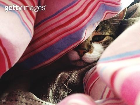 Close-Up Of Cat Sleeping Under Soft Sheet - gettyimageskorea