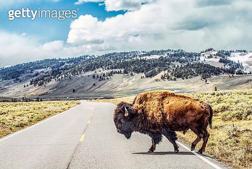 Bison crossing - gettyimageskorea