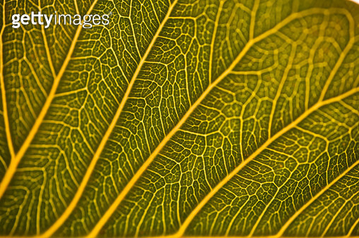 Veins of leaf - gettyimageskorea